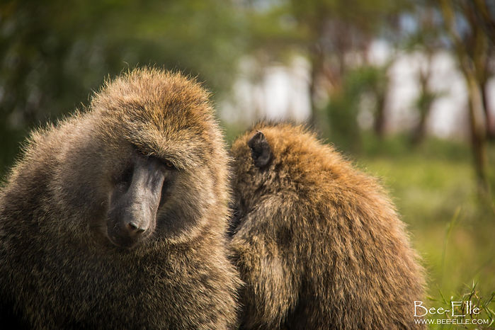 Olive Baboons Allogrooming
