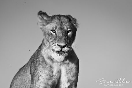 Bee-Elle-Lioness
