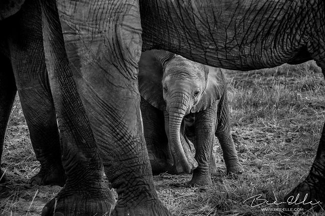 Baby Elephant - African Wildlife Photography - Bee-Elle
