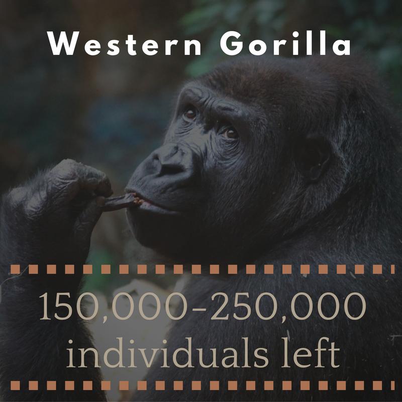 Western Gorilla - Bee-Elle - African Wildlife Conservation