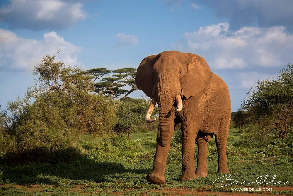 African Wildlife Photography - Elephant Bull - Bee-Elle