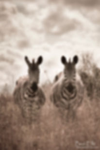 A pair of zebra standing on the plains