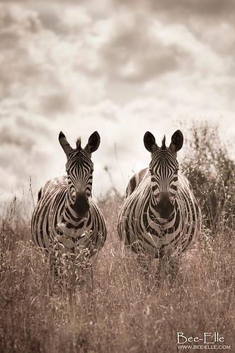 A pair of zebra