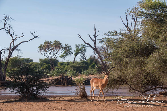 Impala walking away from Ewaso Nyiro river, Samburu, Kenya