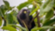 Eastern Grey Plantain Eater, Kampala, Uganda