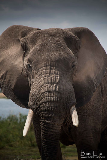Bull Elephant at Amboseli