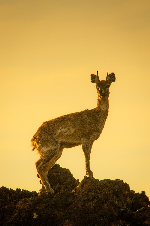 Rock Jumper - Klipspringer - African Wildlife Photography