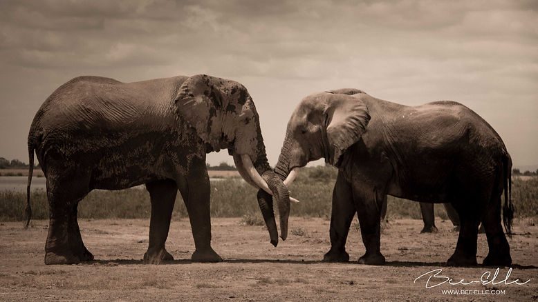 Two Elephants - African Wildlife Photography - Bee-Elle