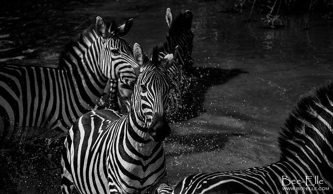 Zebras in the River