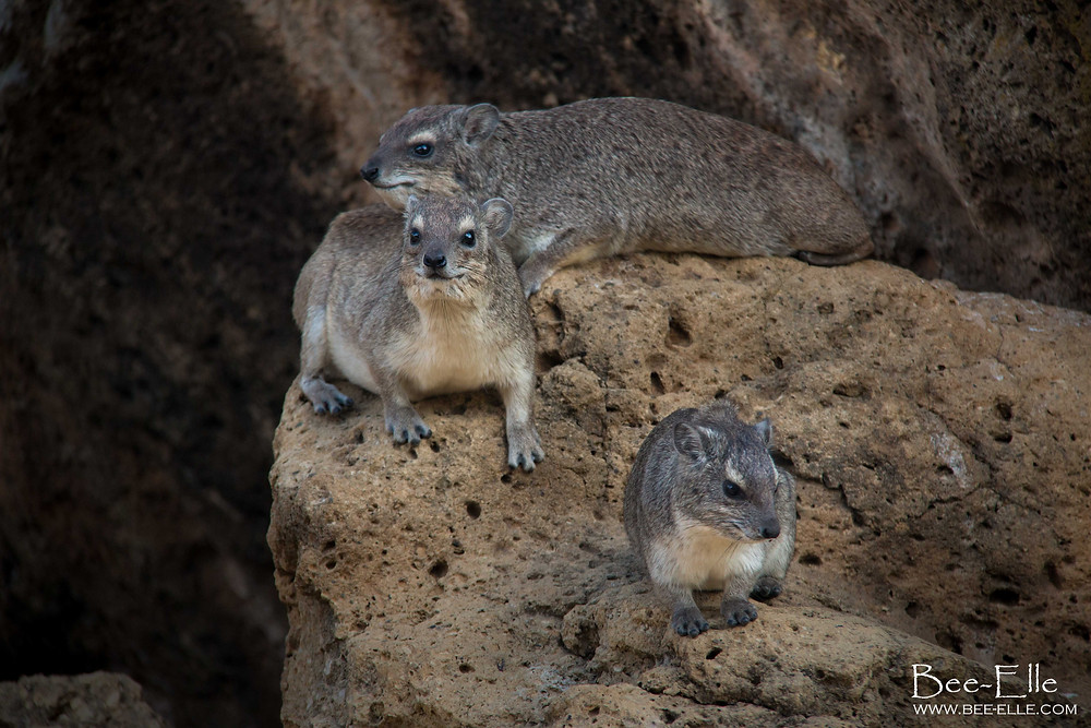 Bee-Elle - African Wildlife Photography - Rock Hyrax