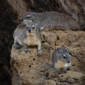 Rock a bye dassie, on the rock top
