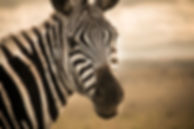Portrait of a Zebra, Maasai Mara, Kenya