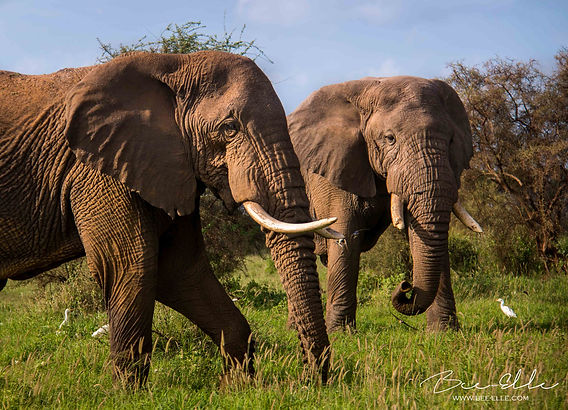 Elephants - African Wildlife Photography - Bee-Elle