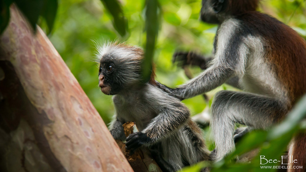 Young Red Colobus Monkey in Coral Rag Forest, Jozani, Zanzibar - Bee-Elle - African Wildlife Photography