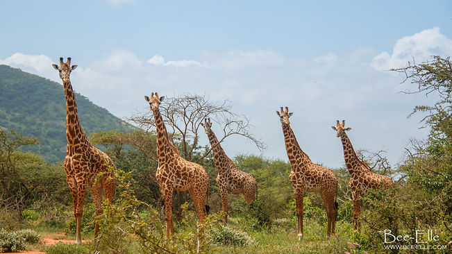 Tower - Giraffe - Samburu - African Wildlife Photography - Kenya - Bee-Elle