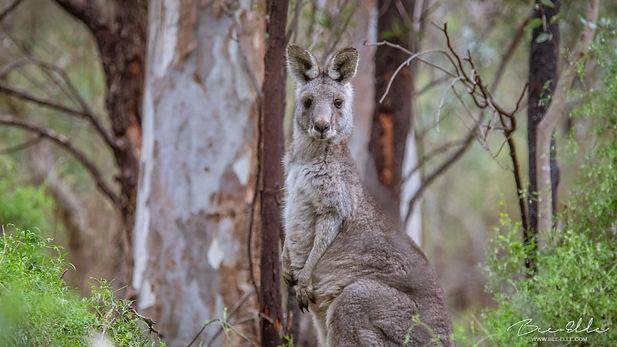 kangaroo-woodland-australia