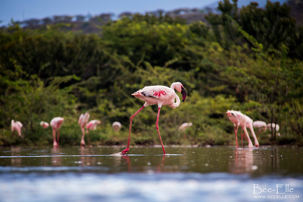 Bee-Elle - African Wildlife Photography - Flamingo