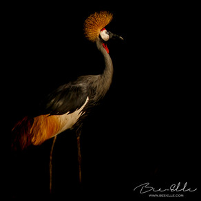 Highly Revered, Highly Endangered: The Grey Crowned Crane