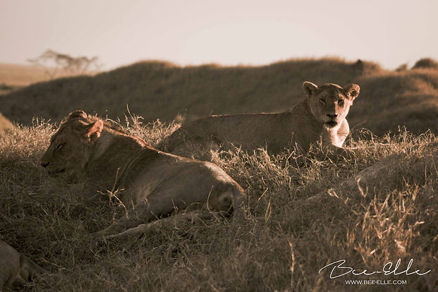 Lionesses at Dusk