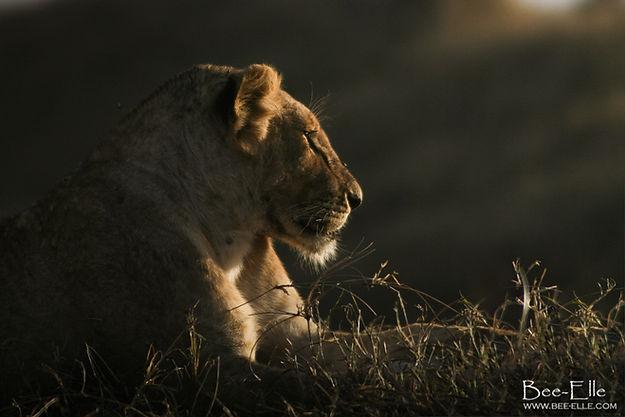 Lioness resting during sunset, Serengeti