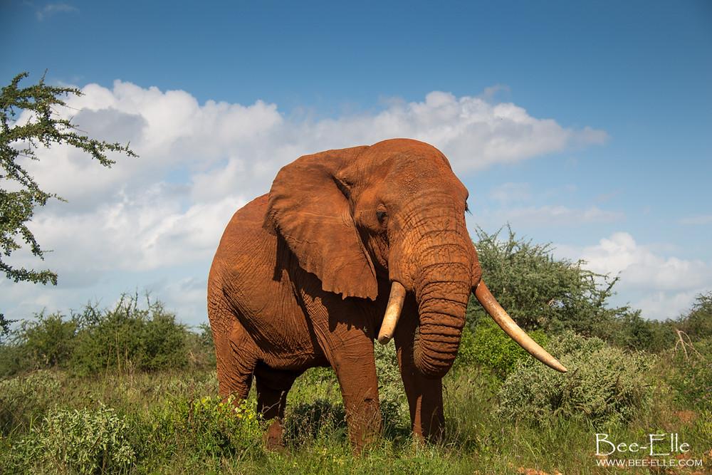 Elephant - Bee-Elle