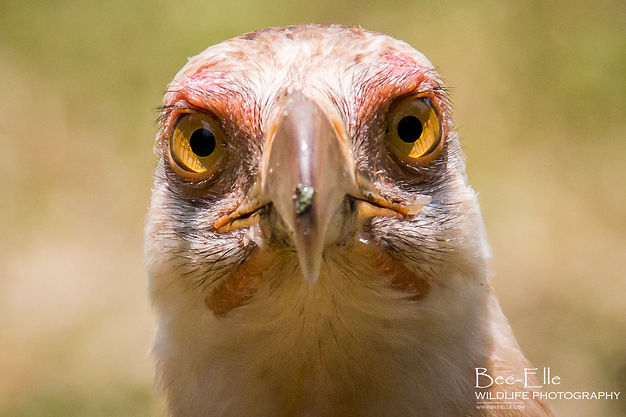 vulturine fish eagle / palm nut vulture