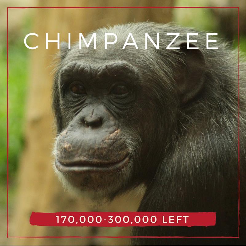 Chimpanzee - Bee-Elle - African Wildlife Conservation