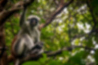 Red Colobus Monkey Jozani Forest Tanzania