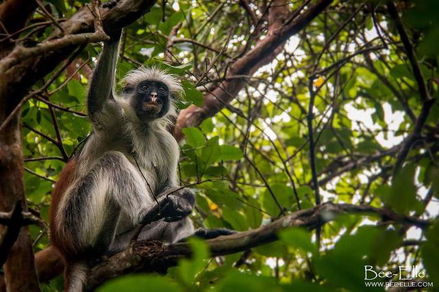 Red Colobus Monkey Jozani Forest Tanzania