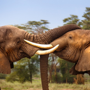 Australia is set to ban the ivory trade but more must be done to save the elephant