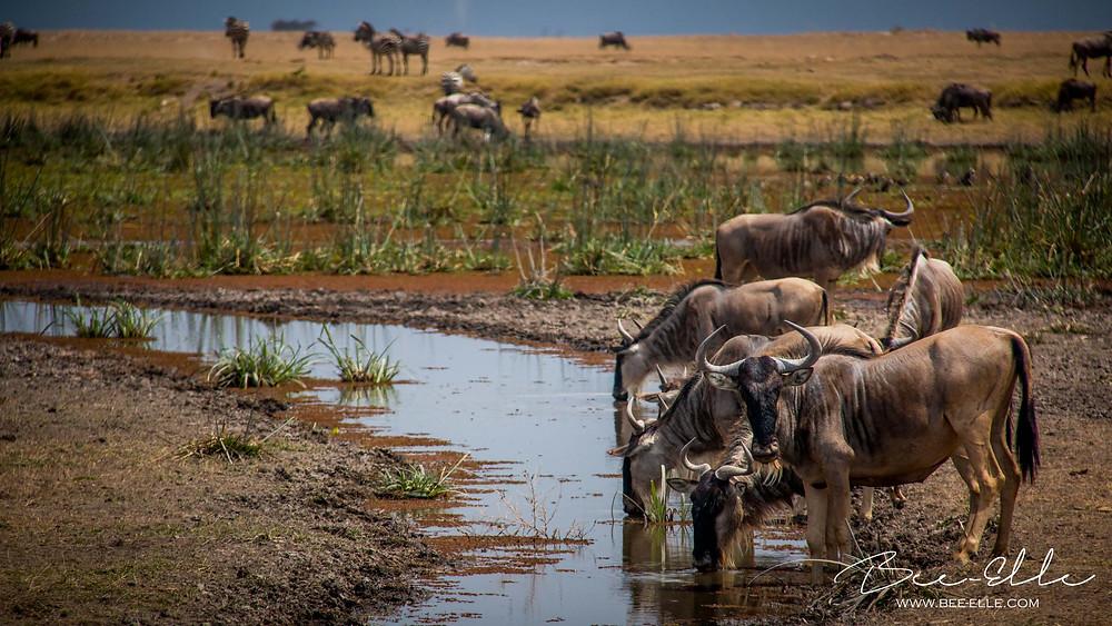 Wildebeest taking a drink from a stream, Maasai Mara, Kenya