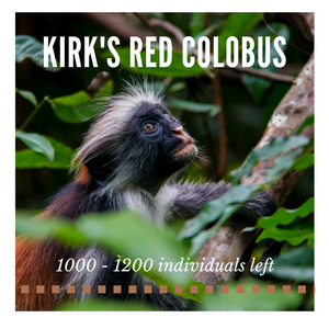 Kirk's Red Colobus - Bee-Elle - African Wildlife Conservation