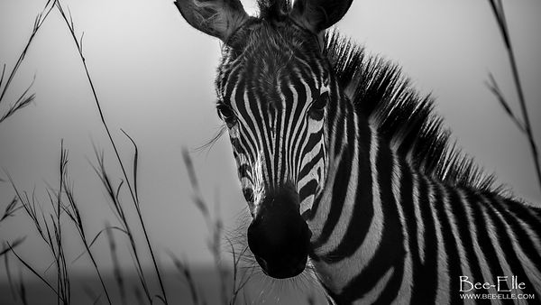 Portrait of a Zebra, Maasai Mara, by Bee-Elle