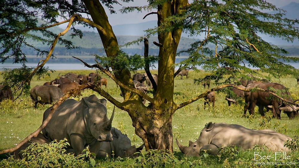 Southern white rhinos lying in the shade of a tree at Lake Nakuru, Kenya. Photo: Bee-Elle