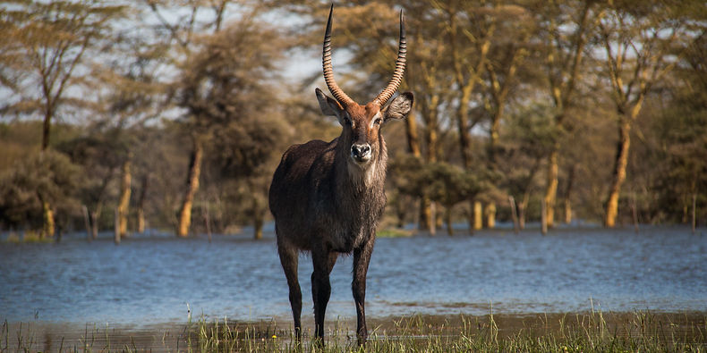 A waterbuck standing on the shores of Lake Naivasha, Kenya