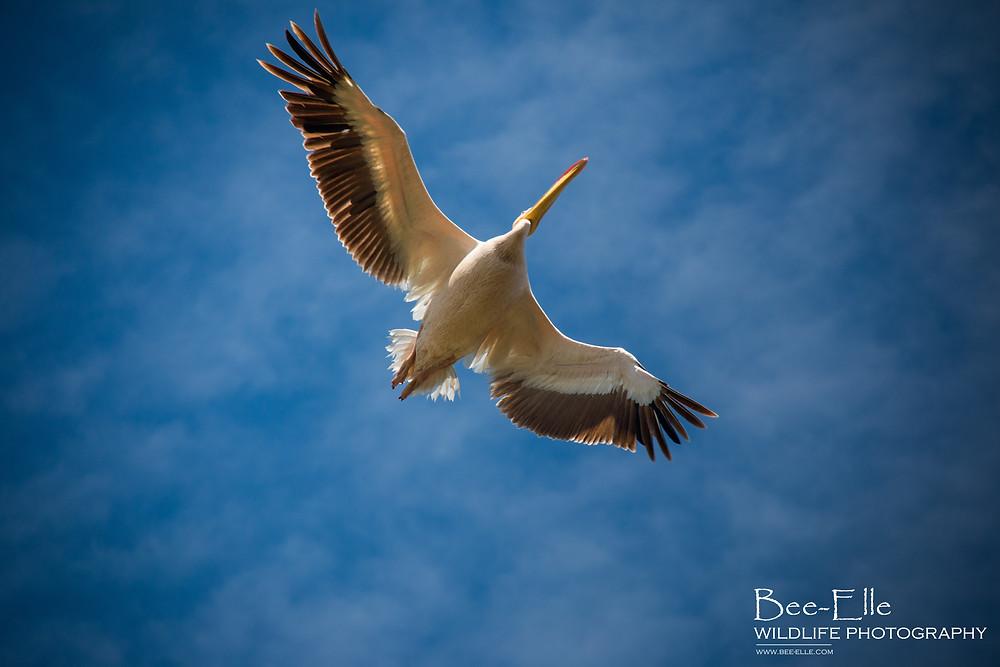 Bee-Elle - African Wildlife Photography - Pelican