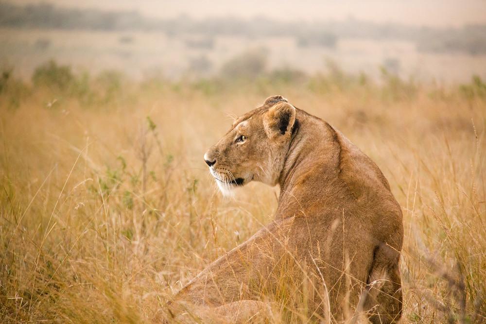 Lion-Nairobi-Escape-Kenya-Bee-Elle-African Wildlife Photography