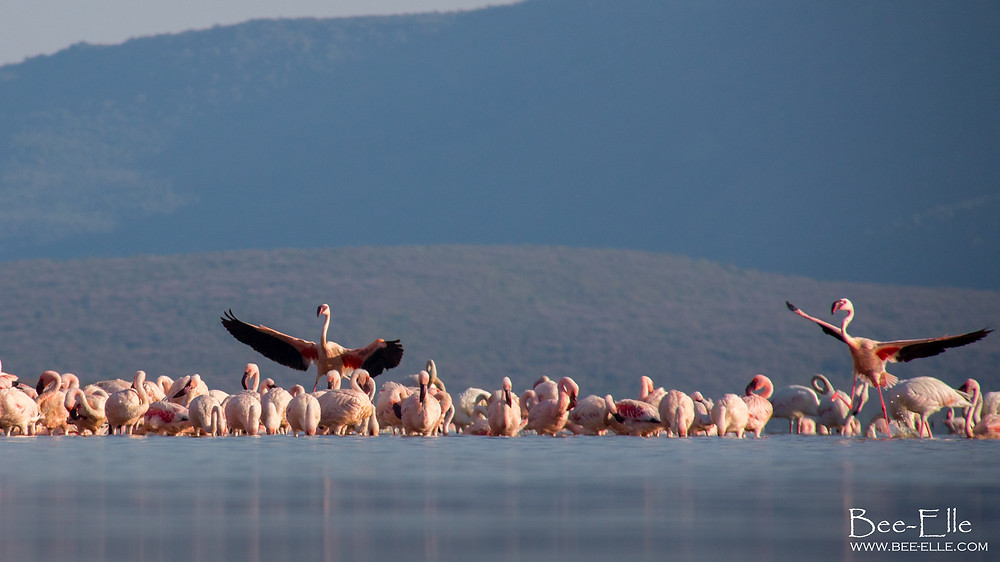 lesser flamingoes on lake