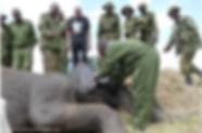 Elephant speared in Maasai Mara, Kenya