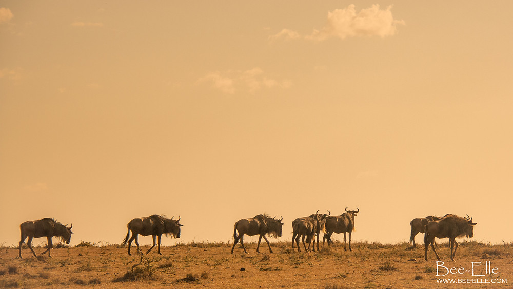 A herd of wildebeest move across the plains. Maasai Mara, Kenya
