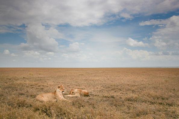 Serengeti Lions - Bee-Elle African Wildlife Photography