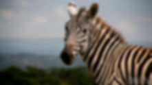 Portrait of a Zebra by Bee-Elle
