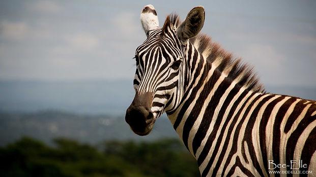 A zebra at Lake Nakuru