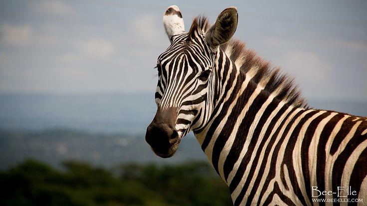 Portrait of a Zebra by Bee-Elle