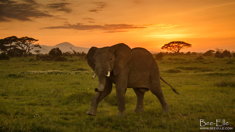 Elephant walking on the plains during sunset - Bee-Elle - African Wildlife Photography