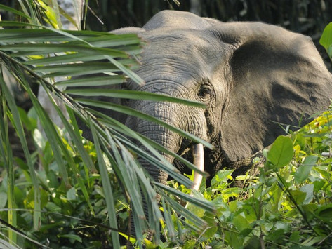 Dark forests, dark outlook: the African Forest Elephant
