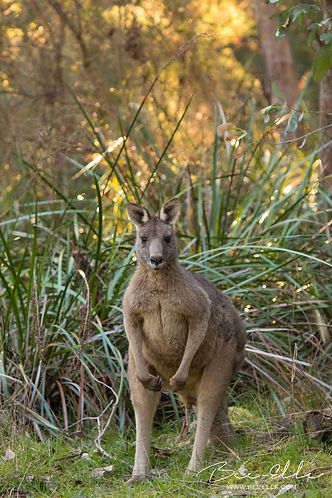 Eastern Grey Kangaroo by Bee-Elle