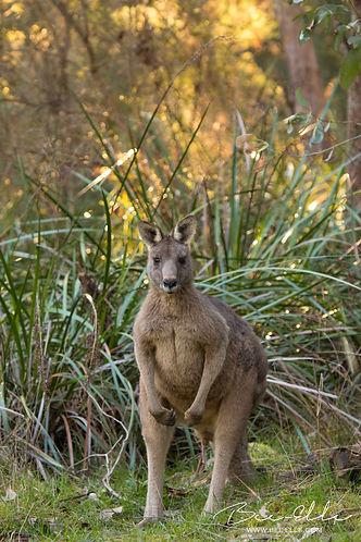 Eastern Grey Kangaroo by Bee-Elle