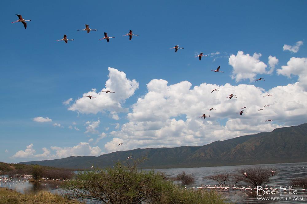 flock of flamingoes in flight