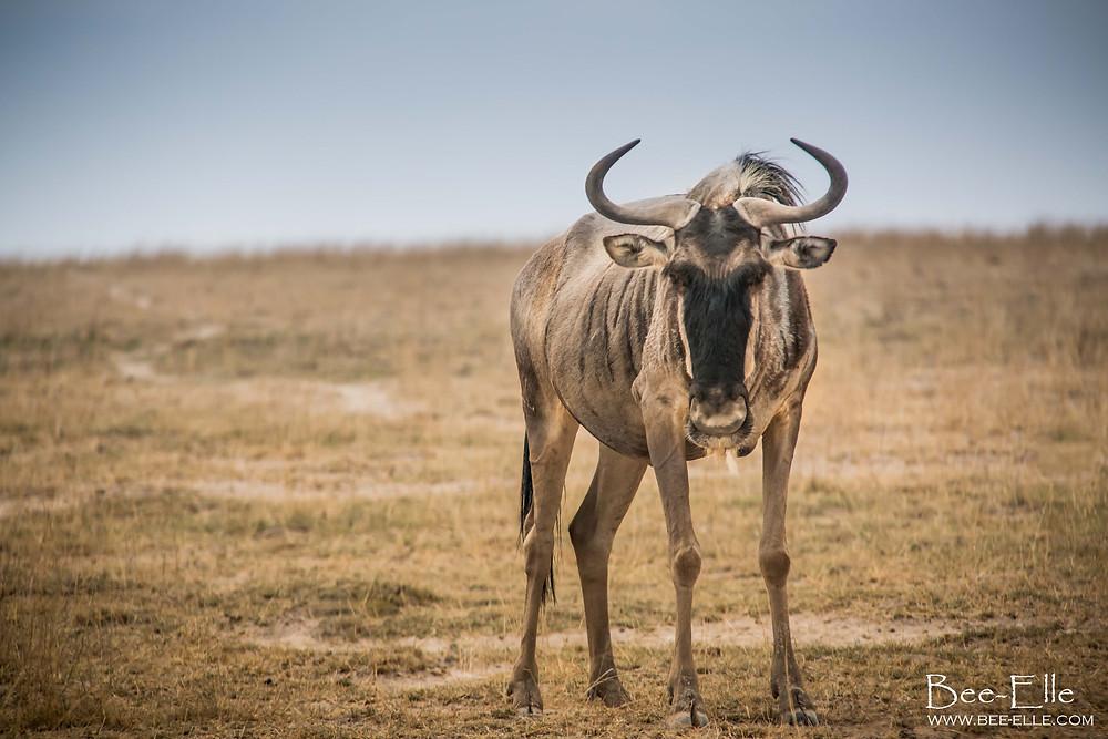 Blue Wildebeest on the Plains. Maasai Mara